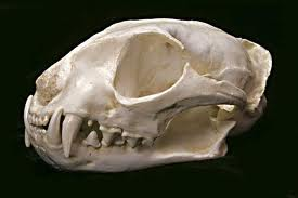 What Can Skulls tell us about what Different Animals Eat?